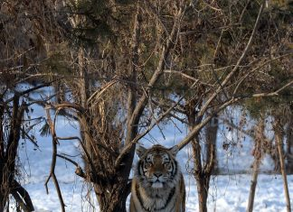 why are siberian tigers endangered