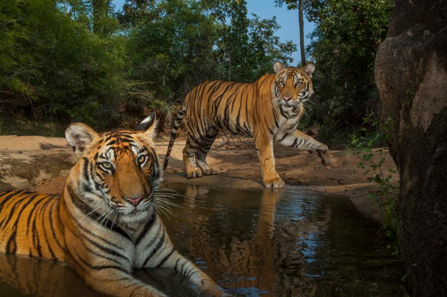 how much do siberian tigers weigh