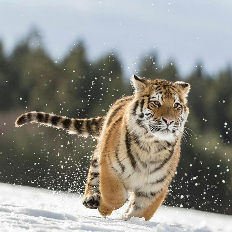how high can a siberian tiger jump
