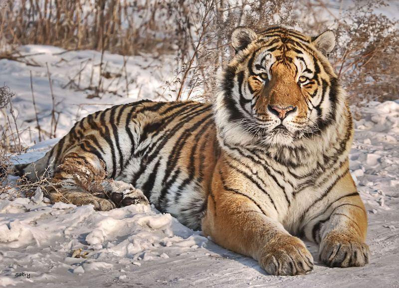 siberian tiger size