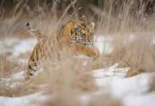 siberian tiger adaptations