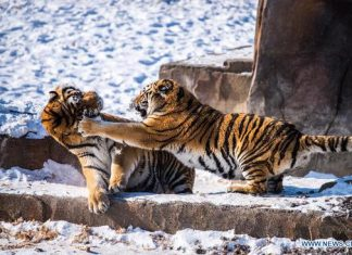 how fast can a siberian tiger run
