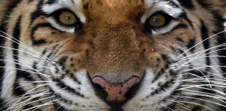 what is the biggest tiger in the world