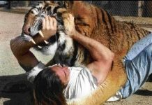 siberian tiger attacks on humans