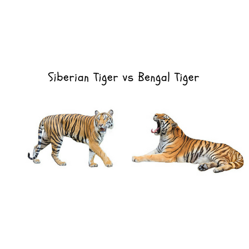Siberian Tiger Vs Bengal Tiger Size Comparison And Fight